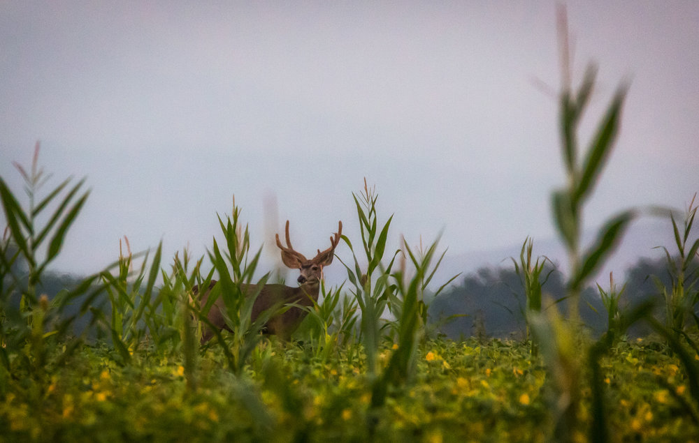 mule deer buck velvet.JPG