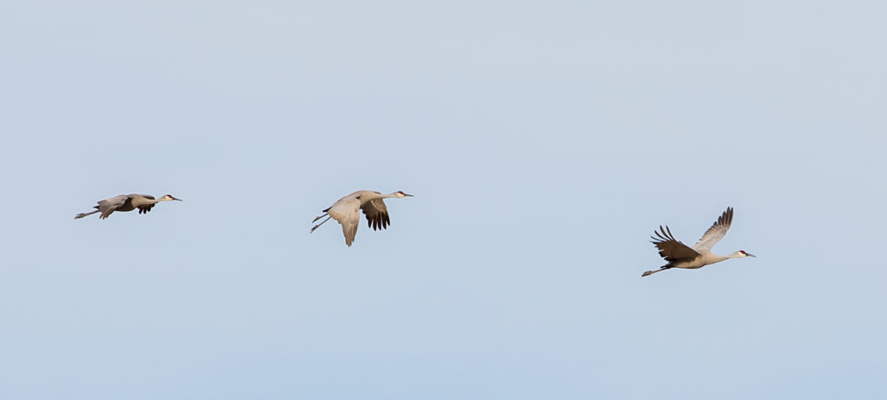sandhill cranes three.JPG