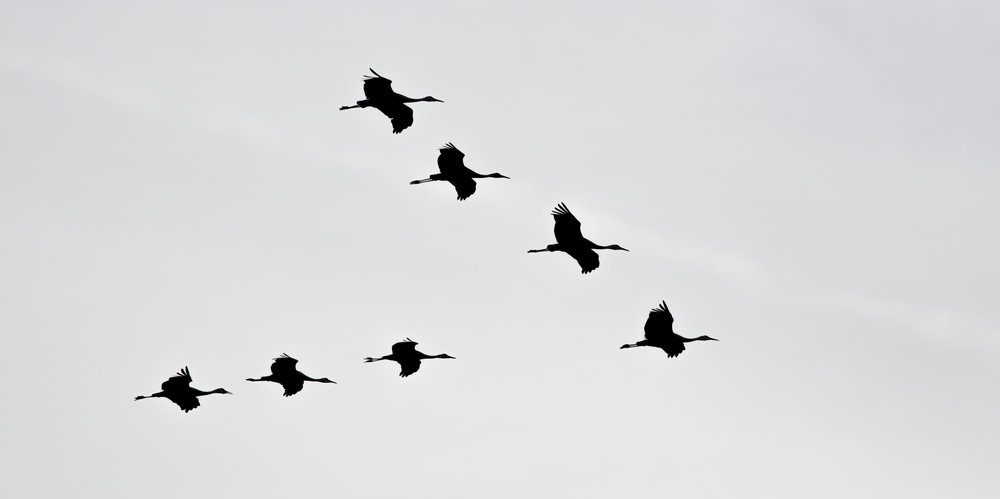 sandhill cranes flying.JPG