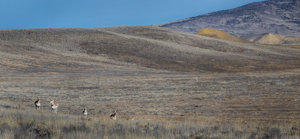 pronghorn antelope colorado.JPG