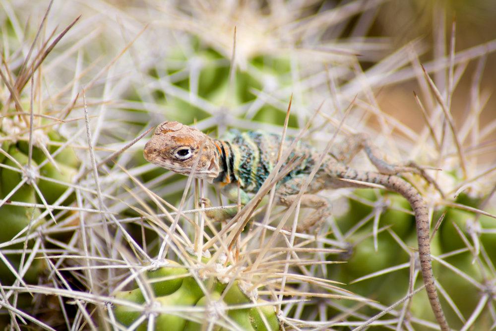 collared lizard.JPG
