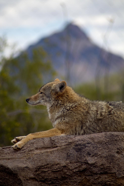 coyote resting.JPG
