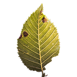 Leafsmall.png
