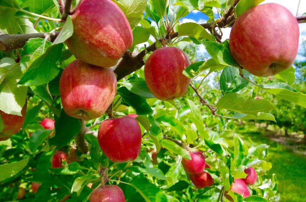 apple.bright.red.branch.jpg