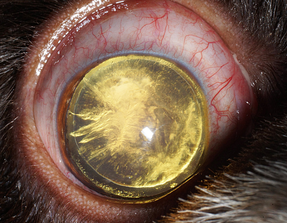 K9 Cataract 2.jpg