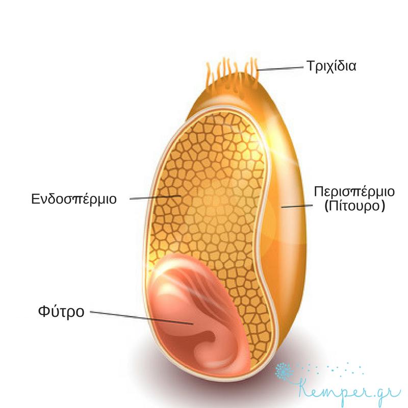 Anatomia-kokkou-sitariou.png