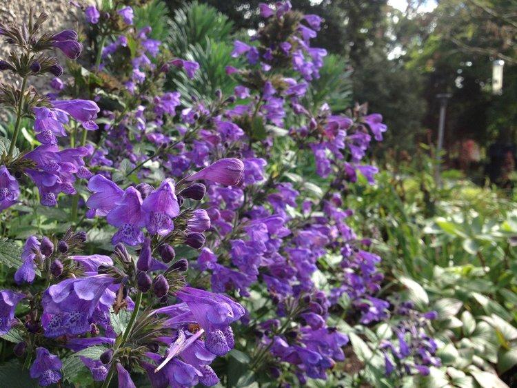 nepeta blue dragon binny plants