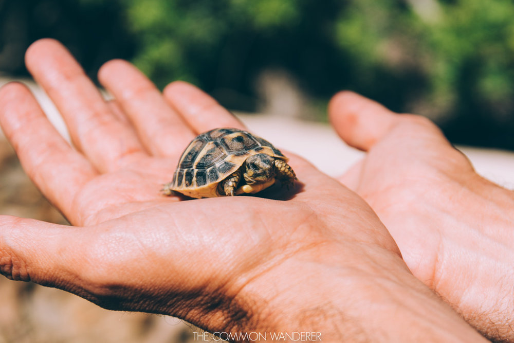 a baby turtle in Es Grau national park, Menorca
