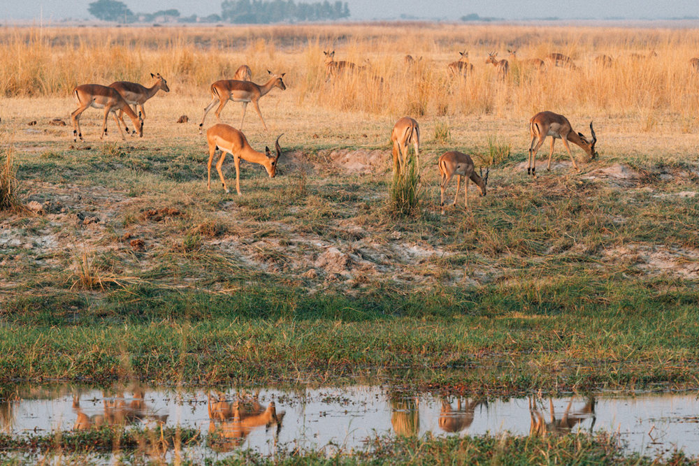 Antelope eat along river in Chobe National park - Botswana things to do