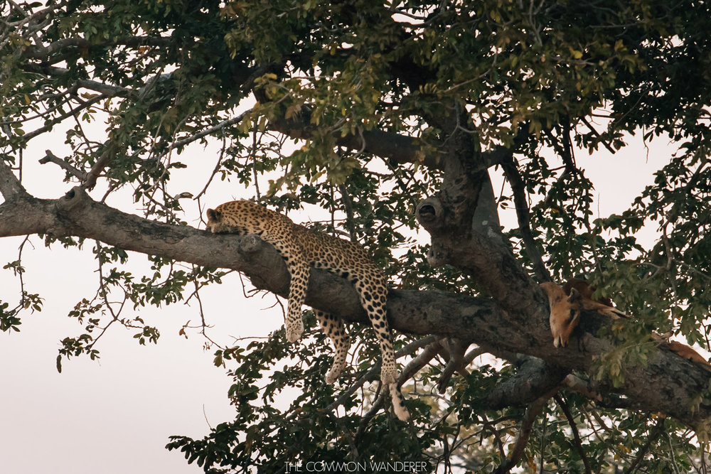 Leopard sitting in a tree in South Luangwa National Park