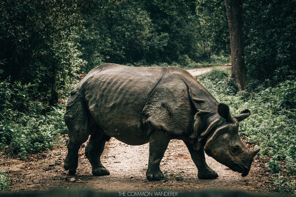 A rhino in Chitwan National park - 30 photos that will make you want to visit Nepal