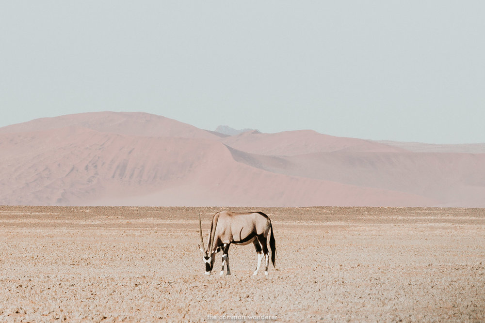 An Oryx grazing in Namibia, Namibia photos