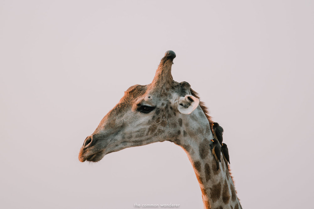 The profile of a Giraffe with bird on it's next, Etosha National Park, Namibia