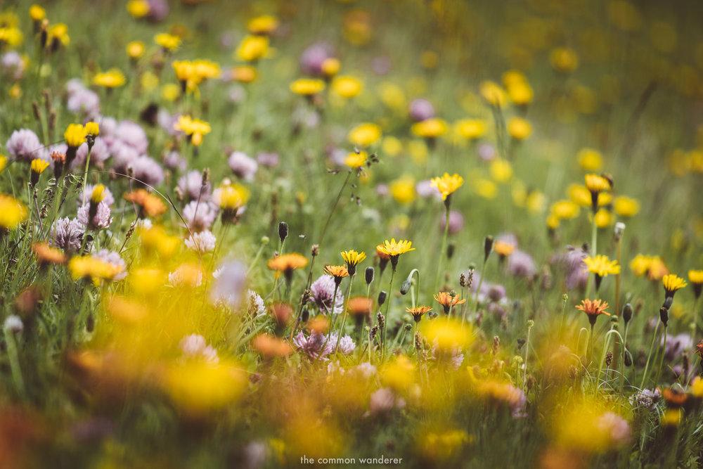 Wildflowers in bloom in Vorarlberg, Austria