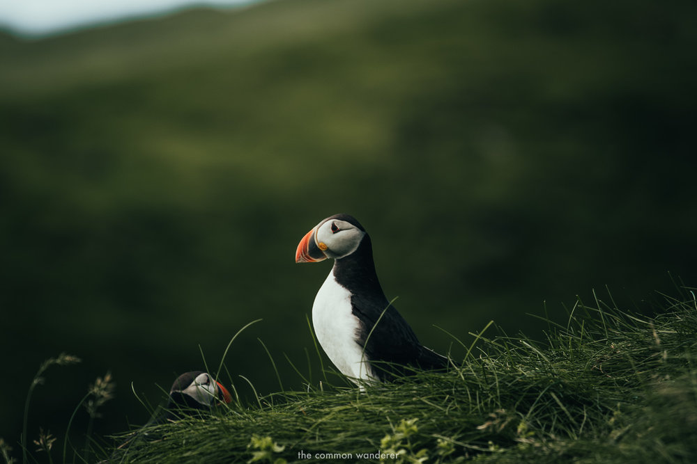 The Common Wanderer_- puffin on Mykines.jpg