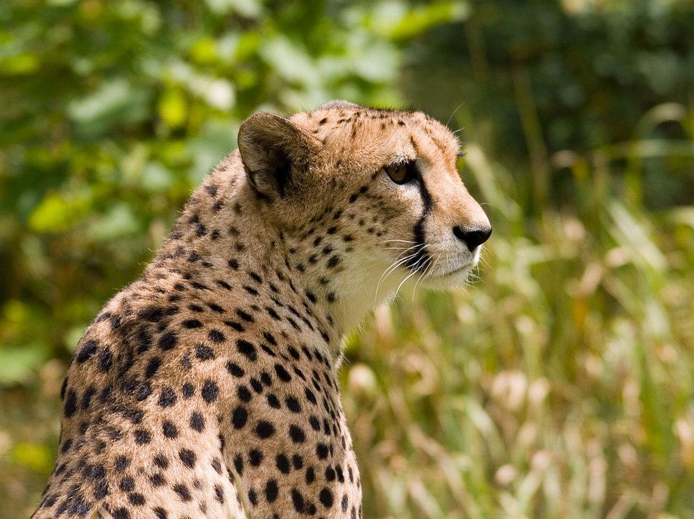 Cheetah - Photo by  Wikipedia