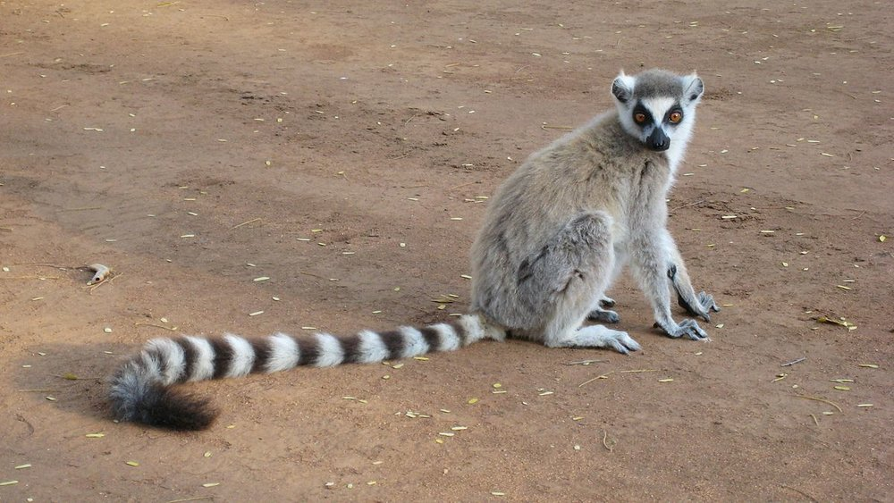 Lemur - Photo by: Wikipedia
