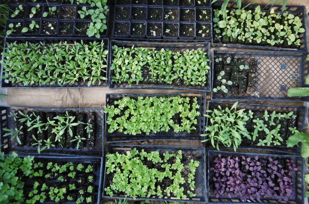 Greenhouse shot of seedlings almost ready for the field: parsleys, batchelor button, lettuces, amaranth, zinnias, okra, beets, rhubarb, oregano, marjoram, echinacea, and catnip!