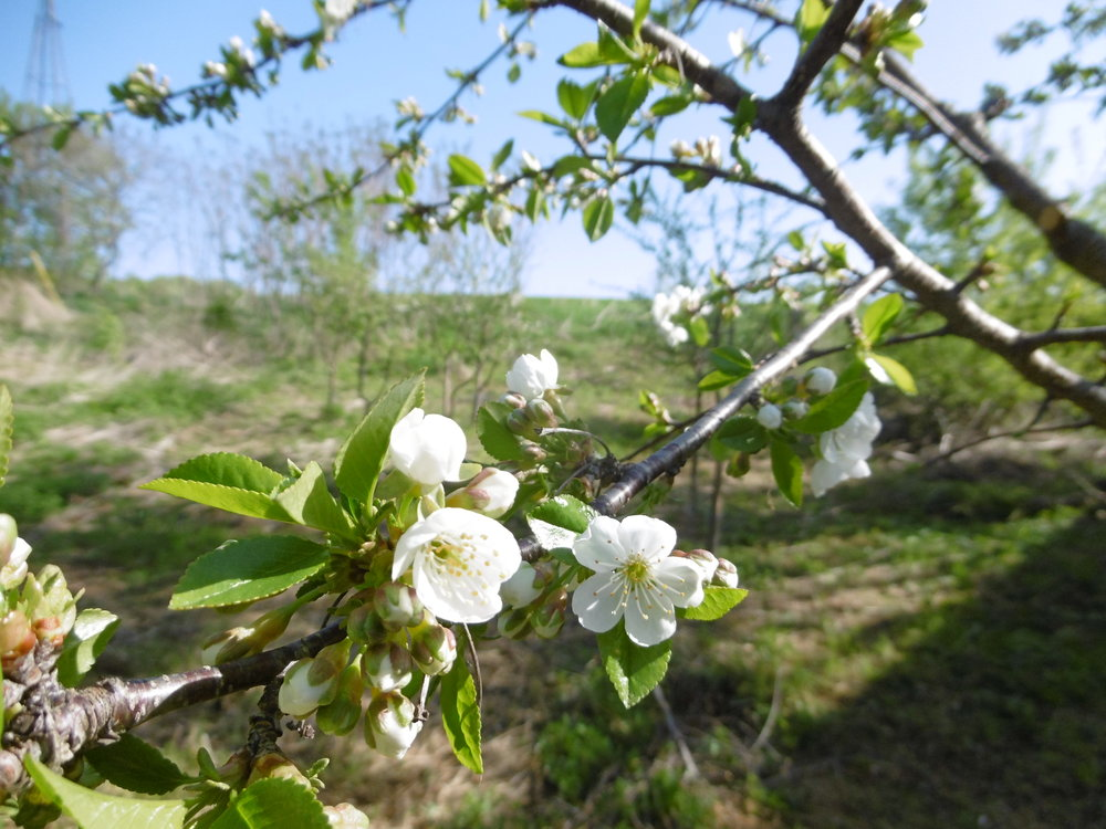 Confused about a reference to fresh cherry pie? Voila! Cherry trees are blooming and we are excited.