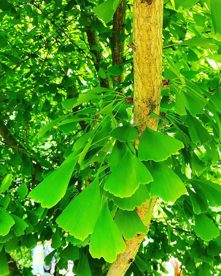 Maidenhair tree -   Ginkgo leaves starting to change from vibrant green to a lighter yellow -  Toronto September 2016