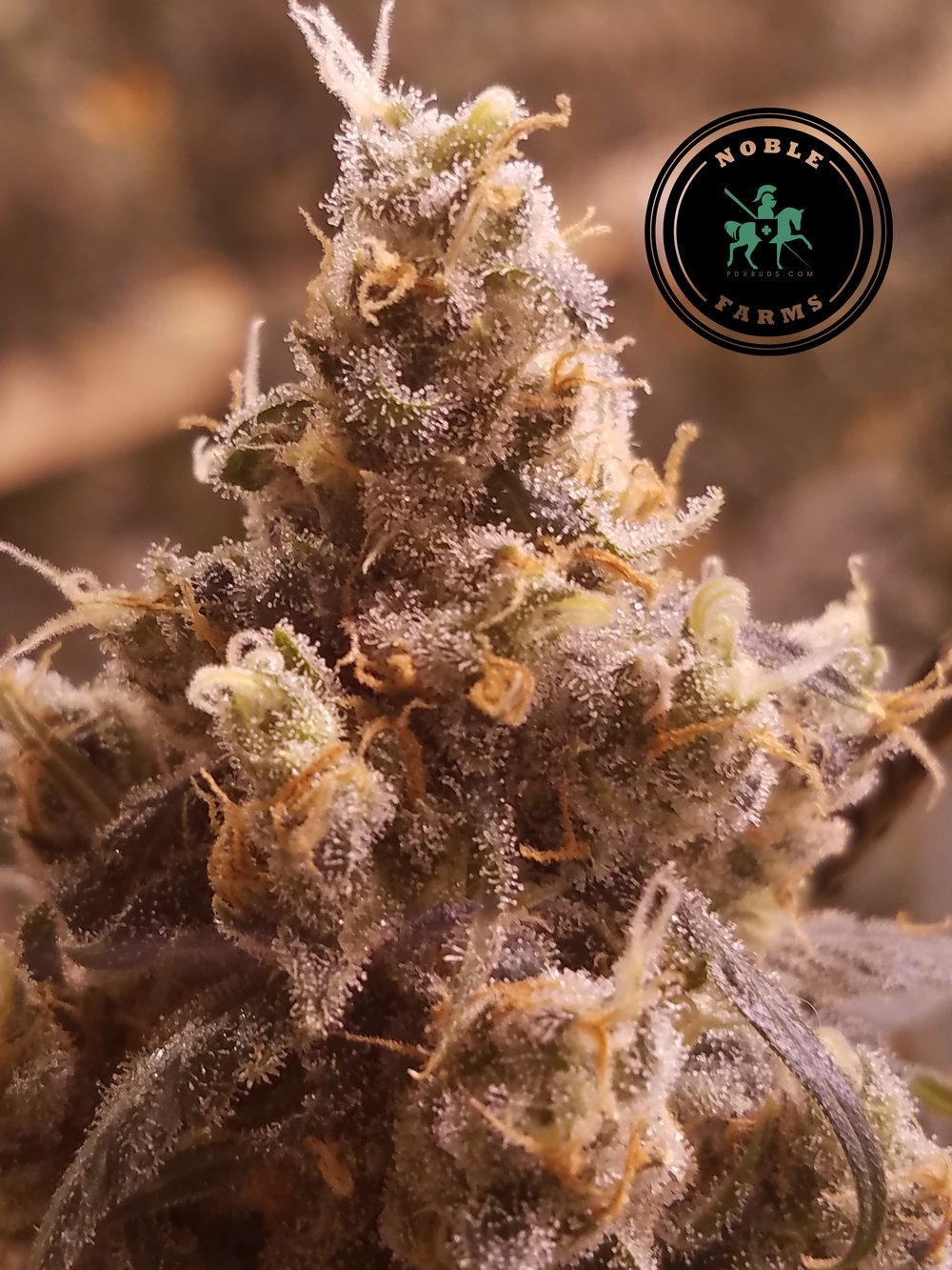 Jack Herer - - Northern Lights #5 x Shiva SkunkSativa