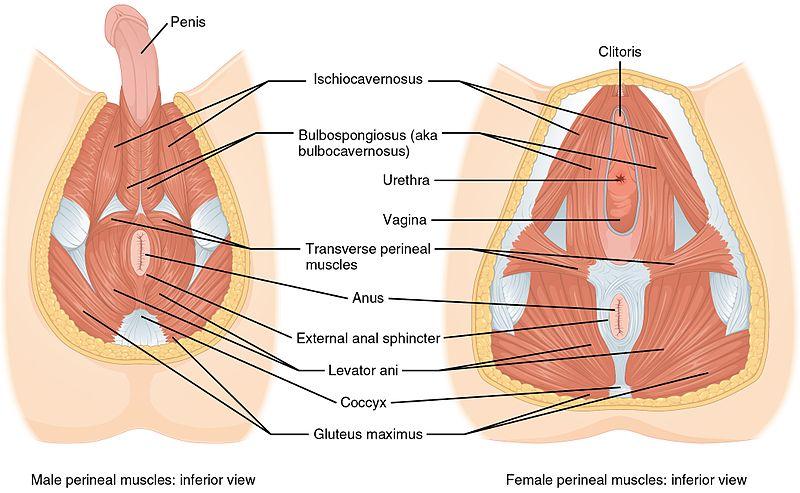 Image source: Pelvic Health and Rehabilitation Center (https://pelvicpainrehab.com)