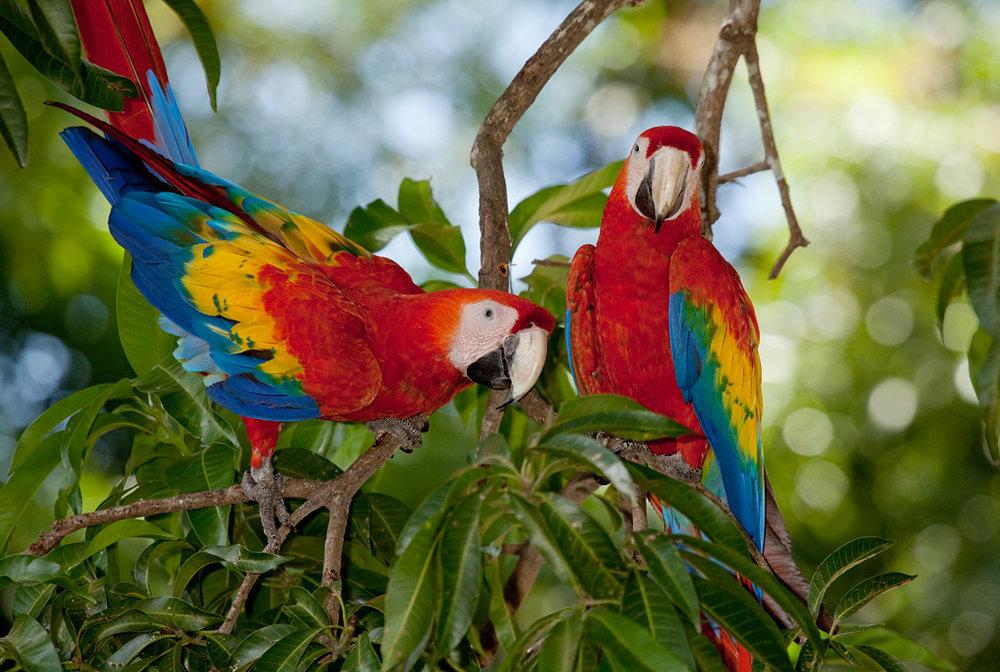 Scarlet Macaws Limonal.jpg