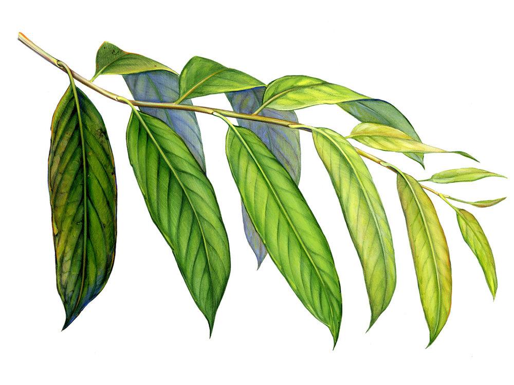 Leaf Ages