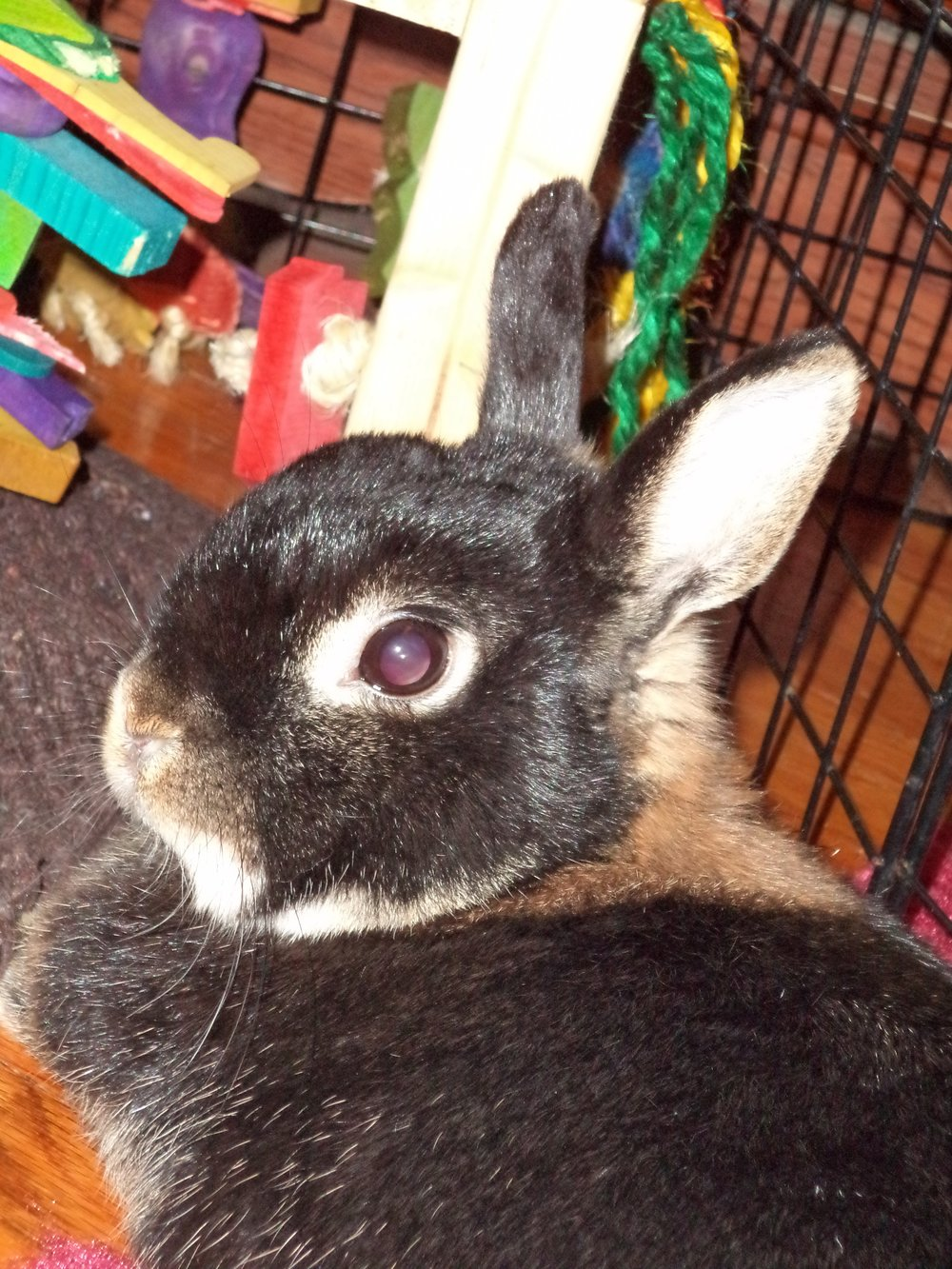 Guinness Leodegrance Allgeyer  2018  //  Guinness Leodegrance Allgeyer died peacefully on January 19th, 2018.  She joins her friends Tinsel and ChooChoo, and is survived by her two best friends, Snowball and Luna, and her comrade Oatmeal.  Guinness was a bunny of love who enjoyed petting from hoomans and snuggling with her siblings in a bunny sandwich. When she wanted pets, she would look at me until I petted her, and then she would tooth purr and sometimes melt.    Guinness was born in 2008 and spent the first four years of her life as a hutch bunny.  In 2012, she moved to her forever home and was introduced to her new brother Snowball. Snowball and Guinness took a few years to get used to each other before becoming best friends, and then they met Luna, who insisted on being their best friend immediately.  From then on, they were Team Bunny, and they would all cuddle together underneath furniture and groom each other. Guinness enjoyed getting pets, being the top bunny, eating lots of food, inspecting humans, climbing on the couch, and relaxing. Guinness was a bunny who was made entirely out of fur and calmness and snuggles and love.  She will always be missed by everyone who ever met her.