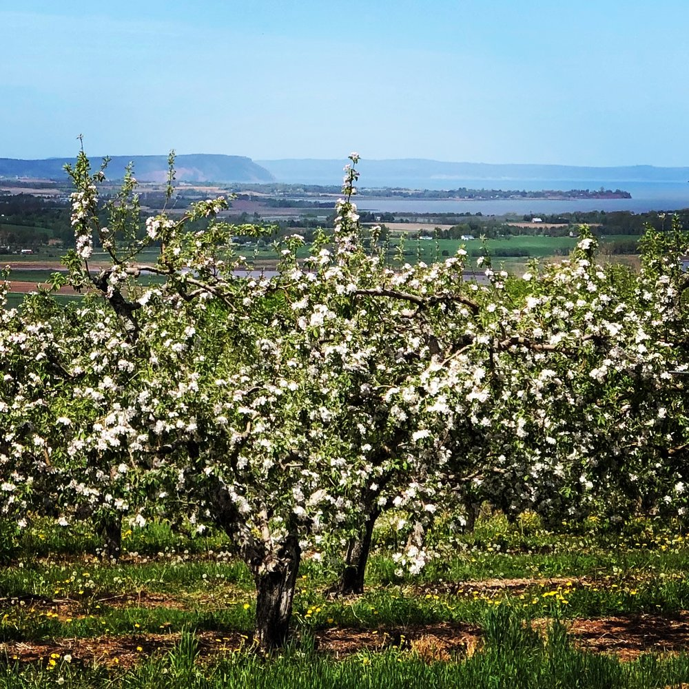 Apple Orchard in Greenwich, Nova Scotia overlooking Cape Blomidon