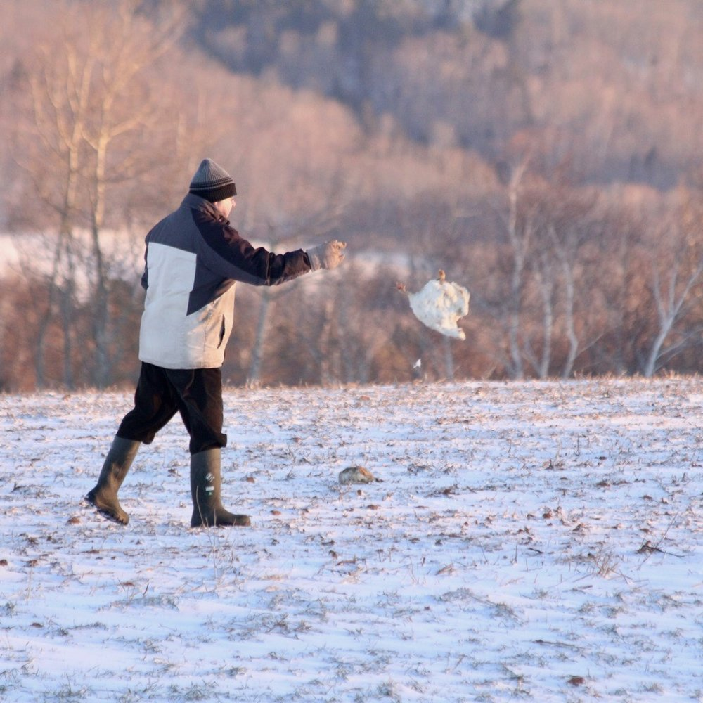 Local farmer scatters chicken carcasses for bald eagles over the windswept frozen field.