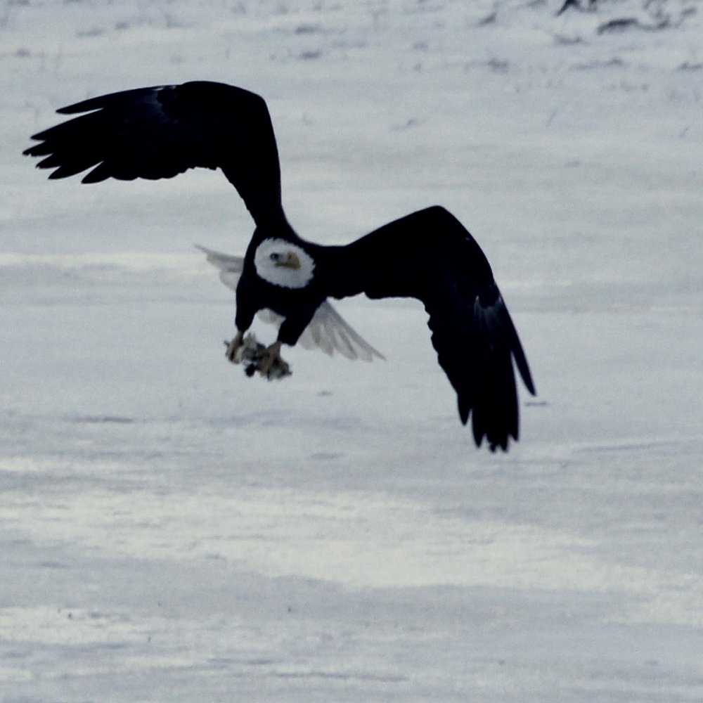 Eagle with chicken carcass