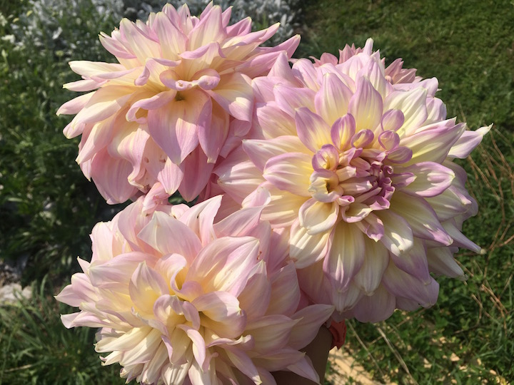"Dahlia ""Vermont Dawn' --a sport discovered in our garden"