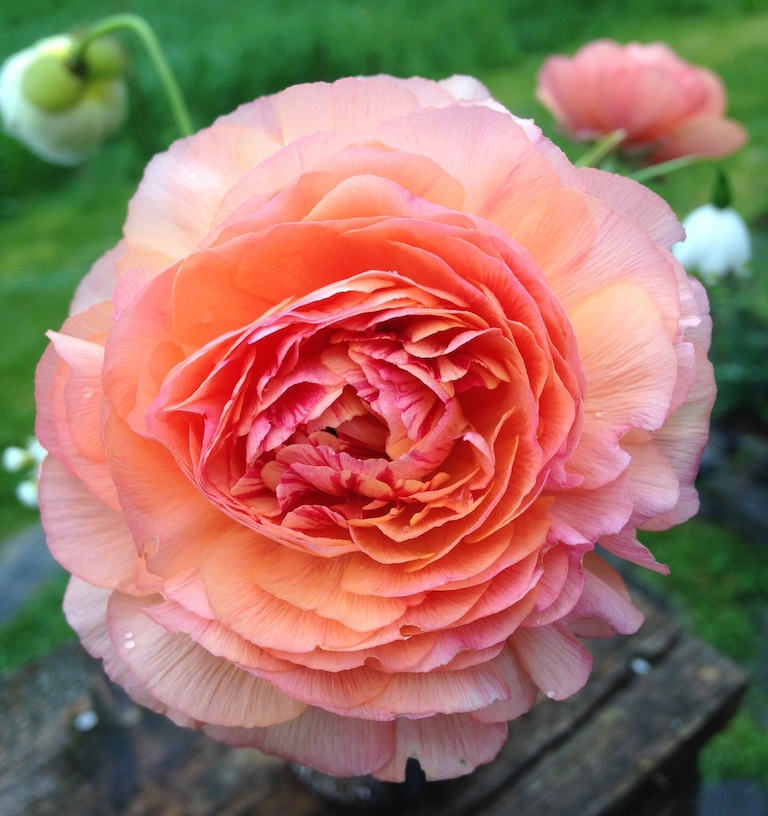 Ranunculus grown right here in Craftsbury!
