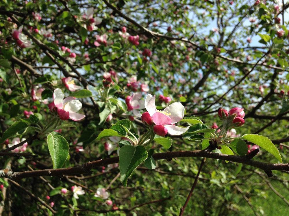 Apple blossoms near Lake Champlain, Swanton, Vermont