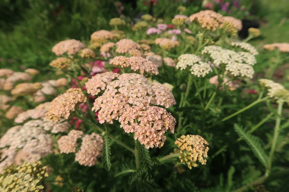 peach_yarrow_blossoming_bough_flowers.jpg