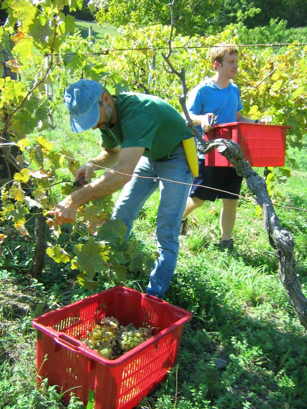 harvestinggrapes.jpg