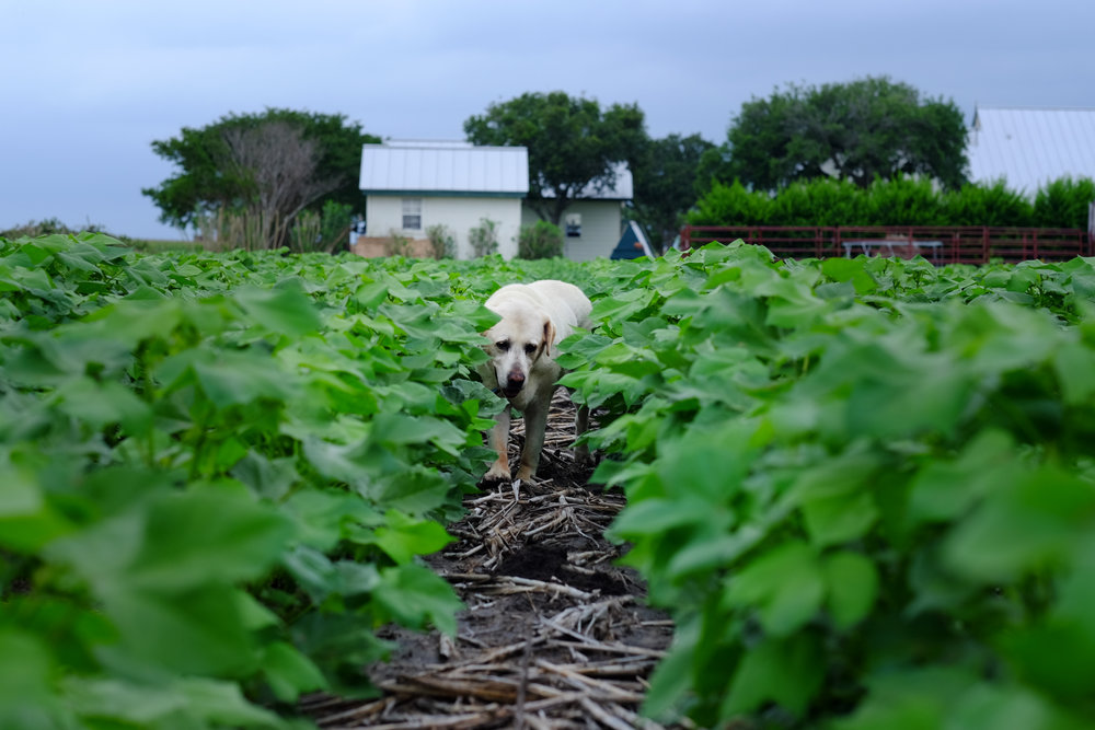 Whatley Farms cotton farm dog.jpg