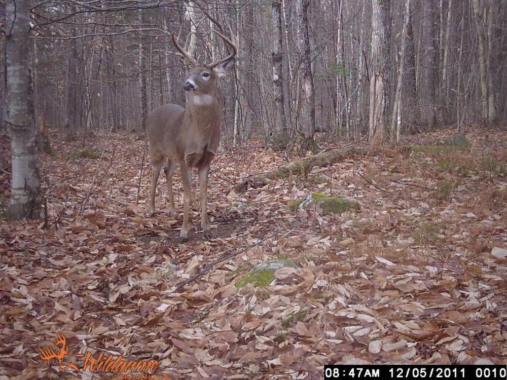 Local big buck