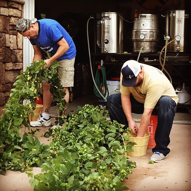 #fresh #hops straight from the bine to the #ssbrewtech kettle. #nugget #cascade and #Willamette, along with 💯% #rootshootmalt, this once-off batch will surprise us all, and we can't wait to try to #replicate it again #nextyear. . . . . .#storytimebrewing #storytimebrew #storytimebeer #storytime #craftbeer #drinkcraft #drinklocalbeer #stateofcraftbeer #Loveland #onestepclosertomydream #beer #beerisscience #familybusiness #sogood