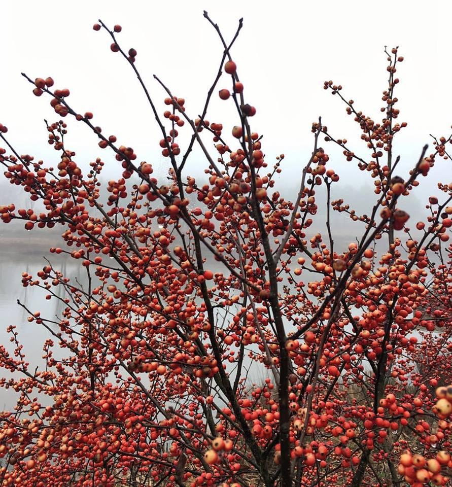 berrytree.jpg