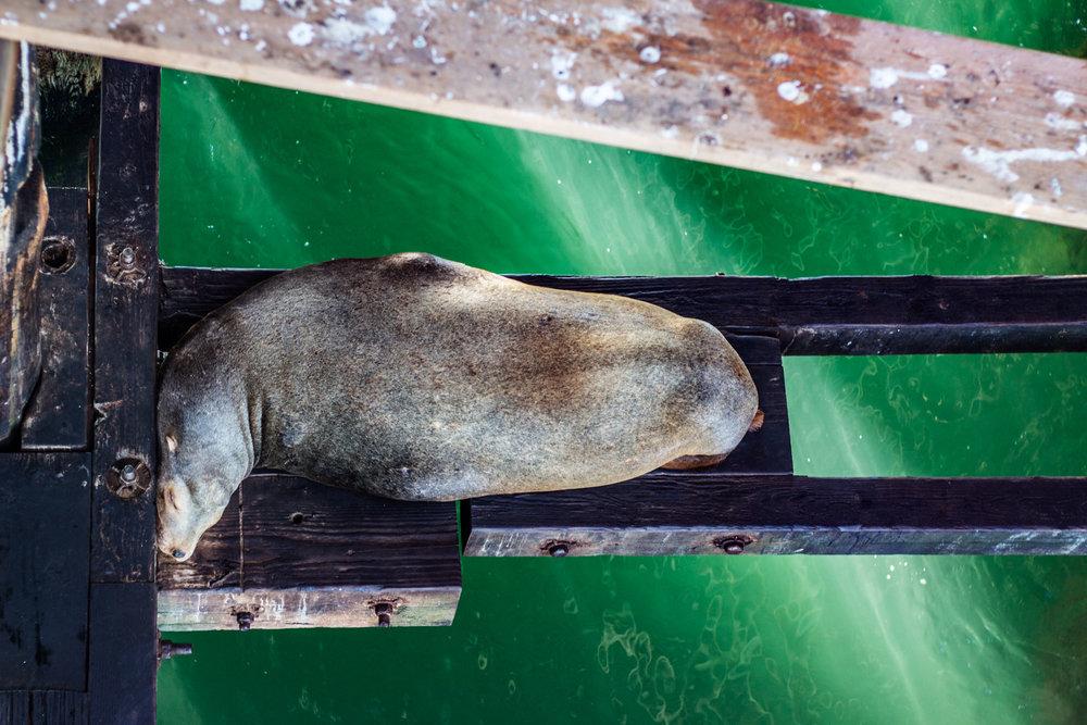 Santa-Cruz-Sea-Lion.jpg