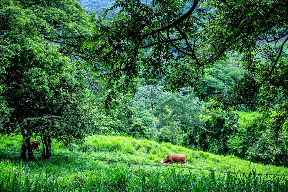Buena-Vista-Cow.jpg