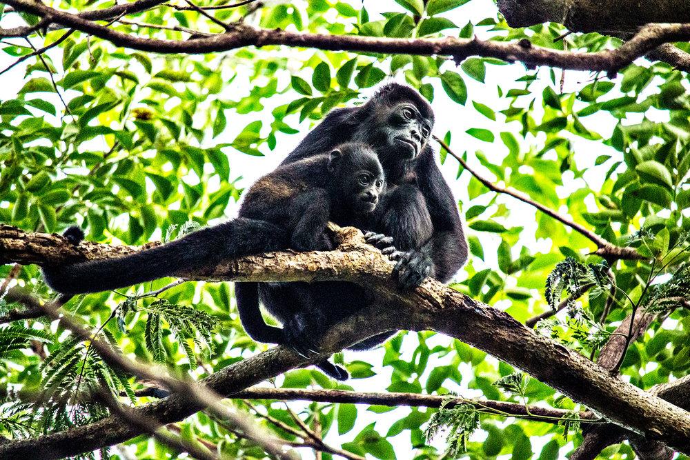 Howler-Monkey-JW-Mariott.jpg