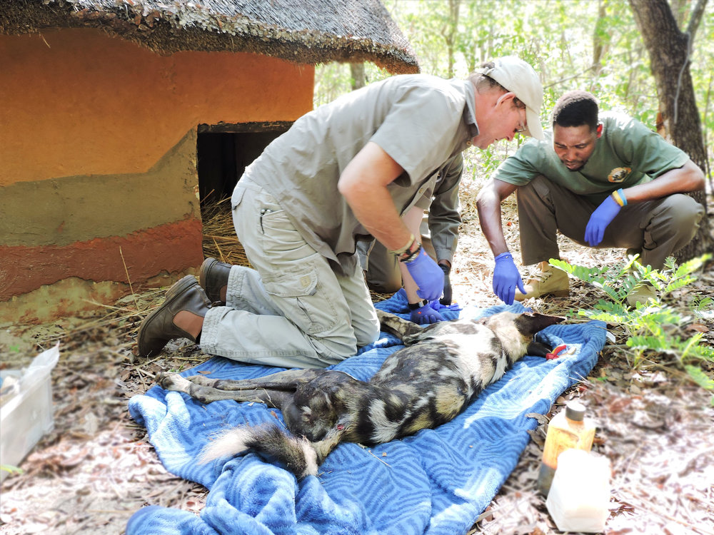 Peter and Geshem attending to a sick painted dog in one of the enclousures at the Rehabilitation Facility.