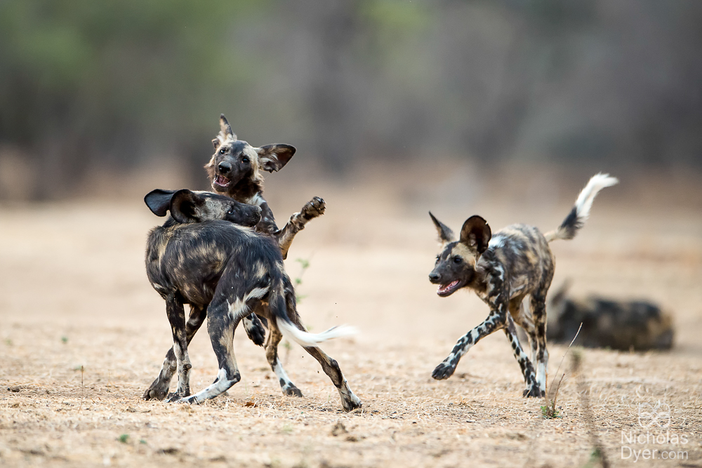 Playfull pups at Mana Pools