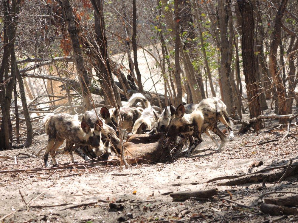 Mpindo Pack pups enjoying a meal at the Rehabilitation Facility