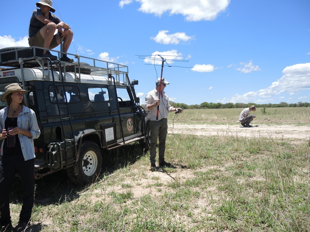 Peter checking the signal of the collars on Jonathan and Snow-Tail after the release
