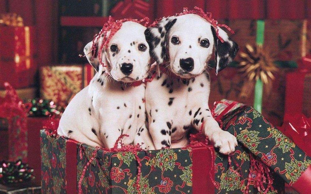 free-christmas-puppy-wallpaper_1280x800_885801.jpg