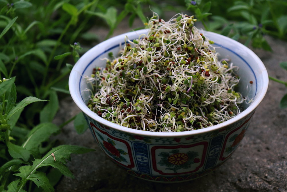 Grow Your Own Broccoli Sprouts Using a Sproutman Bag At Home, Broccoli Sprouts Recipe, Dr. Rhonda Patrick Broccoli Sprouts